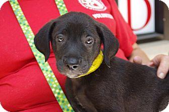 Labrador Retriever Mix Puppy for adoption in Elyria, Ohio - Ice Cream