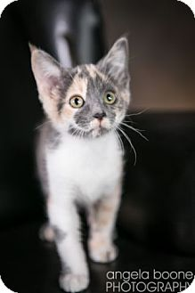 Domestic Shorthair Kitten for adoption in Eagan, Minnesota - Phoenix