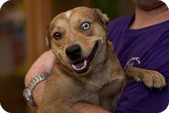 Terrier (Unknown Type, Medium) Mix Dog for adoption in Fort Smith, Arkansas - Foxx