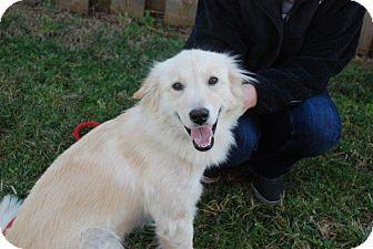 American Eskimo Dog/Golden Retriever Mix Dog for adoption in Derry, New Hampshire - Sadie