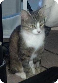 Domestic Shorthair Cat for adoption in mishawaka, Indiana - Blossom