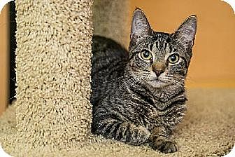 Domestic Shorthair Kitten for adoption in Miami, Florida - Canchita
