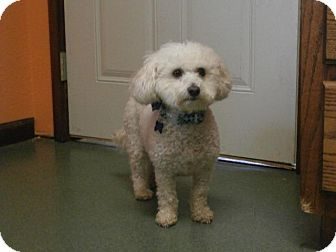 Bichon Frise Mix Dog for adoption in Batesville, Arkansas - Kosmo
