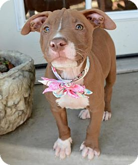 American Pit Bull Terrier Mix Puppy for adoption in La Habra, California - Roan