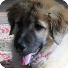 Leonberger/St. Bernard Mix Puppy for adoption in New Canaan, Connecticut - Artemis