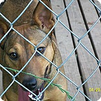 Australian Cattle Dog Mix Dog for adoption in Mexia, Texas - Ginger Rogers