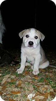 Great Pyrenees Puppy for adoption in New Boston, New Hampshire - Rosebud