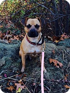 Boxer/Terrier (Unknown Type, Medium) Mix Dog for adoption in Allentown, Pennsylvania - Josie Bear !!Reduced!!