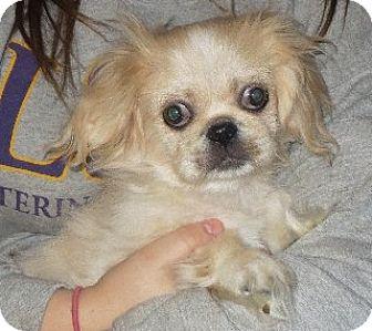 Pekingese Puppy for adoption in Westport, Connecticut - Bruce Lee