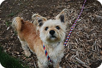 Cairn Terrier Mix Dog for adoption in Twin Falls, Idaho - Gidget
