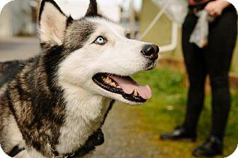 Husky Dog for adoption in Portland, Oregon - Marcus