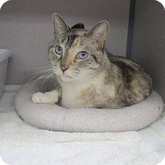Siamese Cat for adoption in Middletown, New York - Una