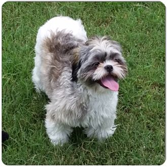 Shih Tzu Mix Dog for adoption in San Antonio, Texas - Fluffy