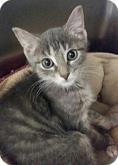 Domestic Shorthair Kitten for adoption in Adrian, Michigan - Cher