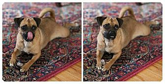Pug Mix Dog for adoption in Buffalo, New York - Dougie