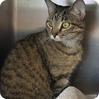 Domestic Shorthair Cat for adoption in Naperville, Illinois - Halo