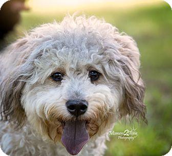 Poodle (Miniature) Mix Dog for adoption in Daleville, Alabama - Precious