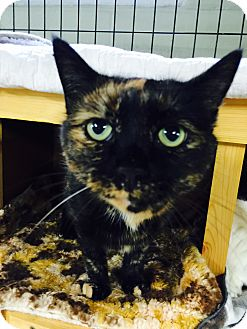Domestic Shorthair Cat for adoption in Holland, Michigan - Snickers