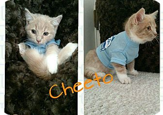 Domestic Shorthair Kitten for adoption in Irwin, Pennsylvania - Cheto