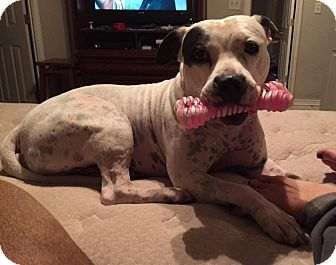 Staffordshire Bull Terrier Mix Dog for adoption in Killeen, Texas - Dallas