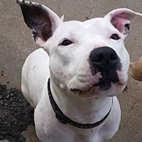 Pit Bull Terrier Mix Dog for adoption in Wichita, Kansas - Pearl