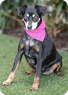 Miniature Pinscher/Beagle Mix Dog for adoption in Rancho Palos Verdes, California - Adelaide