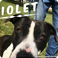 American Staffordshire Terrier/Golden Retriever Mix Dog for adoption in Camarillo, California - VIOLET