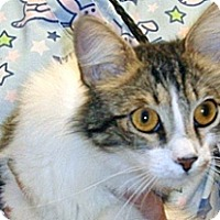 Domestic Shorthair Cat for adoption in Wildomar, California - 349946