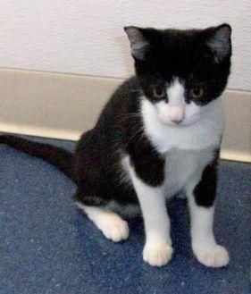 Domestic Shorthair/Domestic Shorthair Mix Cat for adoption in Fairfax Station, Virginia - Miss Summer