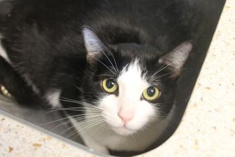 Domestic Shorthair/Domestic Shorthair Mix Cat for adoption in Hudson, New York - Bonnie