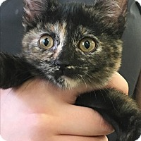 Adopt A Pet :: Misty - Phoenix, AZ