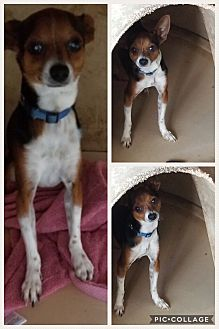 Fox Terrier (Toy)/Chihuahua Mix Dog for adoption in Homestead, Florida - Koki