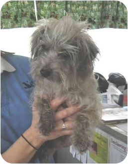 Yorkie, Yorkshire Terrier/Poodle (Toy or Tea Cup) Mix Dog for adoption in Port Hope, Ontario - Chipper