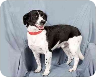 Terrier (Unknown Type, Small) Mix Dog for adoption in Anna, Illinois - RANGER