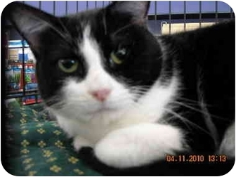 Domestic Shorthair Cat for adoption in Riverside, Rhode Island - Slater