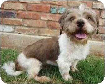 Lhasa Apso Dog for adoption in Lawton, Oklahoma - TRAVIS