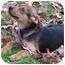 Photo 1 - German Shepherd Dog/Hound (Unknown Type) Mix Puppy for adoption in Brattleboro, Vermont - Joan