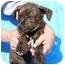 Photo 2 - Labrador Retriever/Plott Hound Mix Puppy for adoption in Broomfield, Colorado - Tango