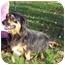 Photo 2 - Dachshund/Cocker Spaniel Mix Dog for adoption in Bloomsburg, Pennsylvania - Mindy