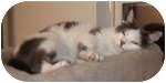 Domestic Shorthair Cat for adoption in Colorado Springs, Colorado - Mariah