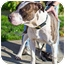 Photo 4 - American Pit Bull Terrier Dog for adoption in Berkeley, California - Khan **URGENT**