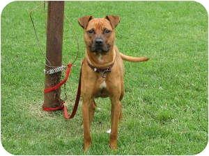 Boxer/Labrador Retriever Mix Dog for adoption in Chicago, Illinois - Scooby(ADOPTED!)