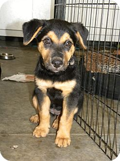 Shepherd (Unknown Type) Mix Puppy for adoption in Mission Viejo, California - Mamma Bear