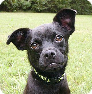 Pug/Boston Terrier Mix Dog for adoption in Mocksville, North Carolina - Willie