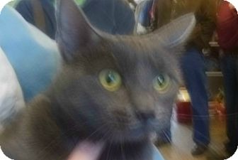 Domestic Shorthair Cat for adoption in Sanford, Maine - Gray Lady