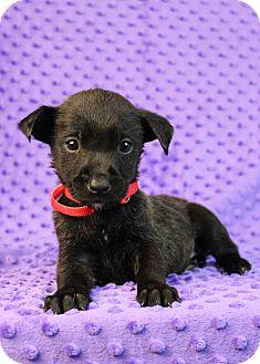 Shiba Inu Mix Puppy for adoption in Westminster, Colorado - Bristol