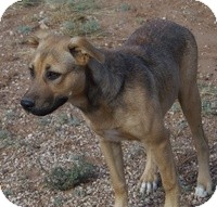 German Shepherd Dog/Pit Bull Terrier Mix Dog for adoption in Post, Texas - Andie