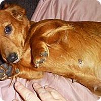 Adopt A Pet :: Kitzie Bitzie wiener gal - Sacramento, CA