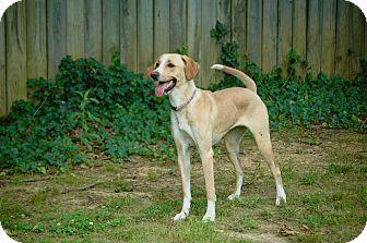 Labrador Retriever/Spaniel (Unknown Type) Mix Dog for adoption in Waterbury, Connecticut - STELLA