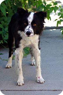 Border Collie Mix Dog for adoption in Ogden, Utah - Digger